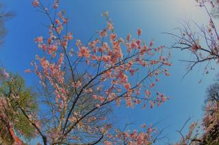 вишня, японская, небо, весна, цветение
