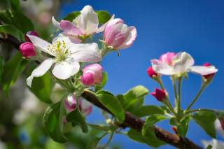 яблоня, ветка, цветение, небо, макро