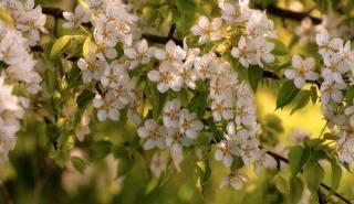 весна, цветение, дерево, цвітіння, груша