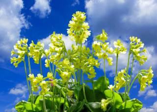 первоцвет, небо, весна