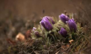 природа, весна, первоцветы, цветы, сон-трава
