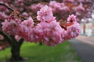 природа, весна, ветка, сакура, цветы, цветение