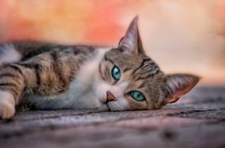 3d, графика, Животное, кот, кошка, взгляд