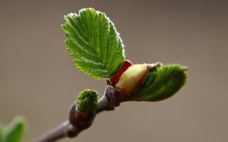 макро, весна, листочки, ольха