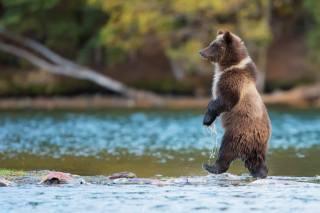 вода, природа, річка, риба, Тварина, хижак, канада, ведмідь, грізлі