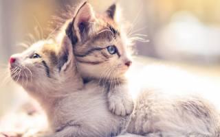 кішки, тварини, кошенята, ПАРА
