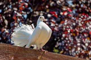 птахи світу, птиця, голуб, балка