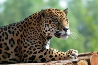 Тварина, хижак, ягуар, колоди