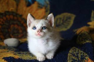 Тварина, кошеня, дитинча, рэгдолл, ragdoll, тканина, погляд