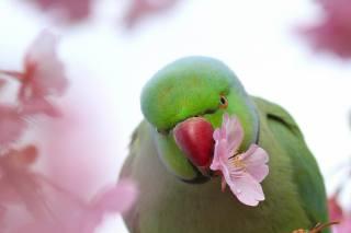 птиця, Папуга, природа, весна, квітка, сакура