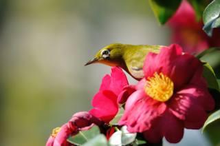 příroda, pták, белый глаз, v tropech, větvička, květiny