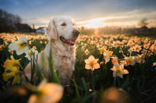 Zvíře, pes, pes, pohled, příroda, retrívr, zlatý, jaro, pole, květiny, narcisy, večer