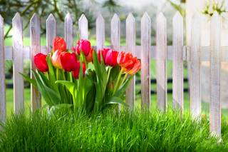 nature, spring, grass, flowers, tulips, the fence