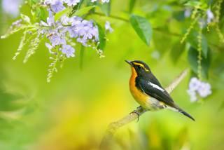 pták, нарцисс мухоловка, foto, Fuyi Chen, větvička, květina, hmyz