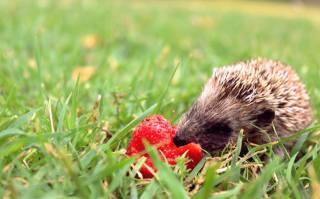 Hedgehog, strawberry, grass, bokeh, spring