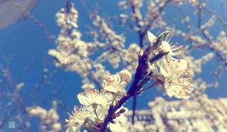 spring, the color of the wood, macro, Plum, nature, branches, flowers, flowering, beautiful, macro, spring, color of the wood, plum, nature, branches, flowers, bloom, Beautiful