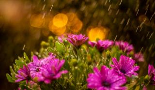 donato caragnano, nature, flowers, chamomile, the rain, drops, water, bokeh