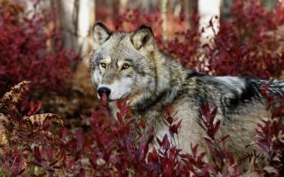 волк, лес, портрет