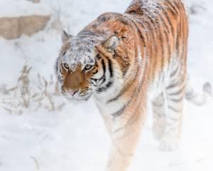 зима, снег, полоски, тигр, хищник