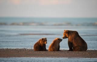 Аляска, океан, затока, природа, тварини, хижаки, ведмеді, Бурые, Ведмедиця, ведмежата, дитинчата, три медведя, захід