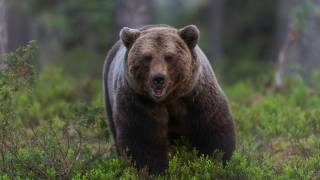 ведмідь, ведмідь, тварини