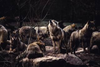 вовки, хижаки, тварини