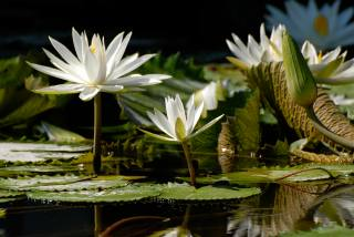 water Lily, flora, flower