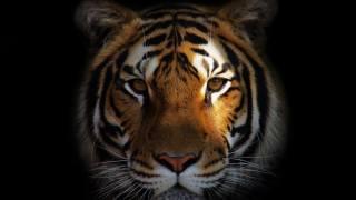tygr, tmavé pozadí
