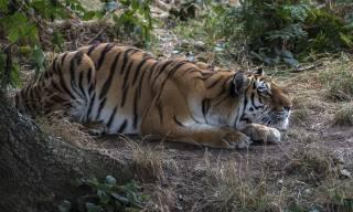 смугастий, красивий, тигр