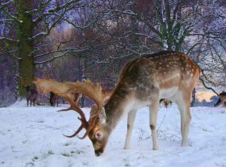 příroda, zima, sníh, stromy, zvířata, Jeleni