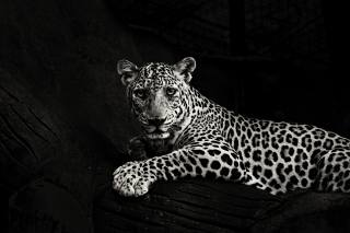 дикі кішки, ягуар, хижак