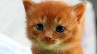 котенок, мордочка, рыжий