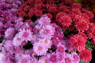 chrysanthemum, Floral arrangement, flora, flowers