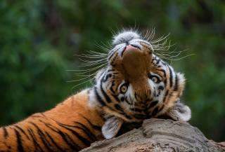 тигр, погляд, тварини