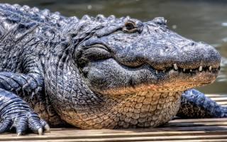 Krokodýl, dravec, zvířata, padnu