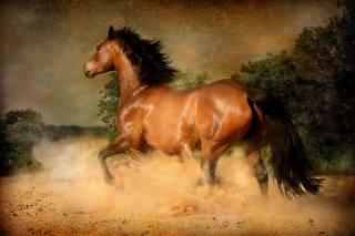 kůň, kůň, hřebec, prach, běhat, HŘÍVA, ocas, HNĚDÁ, cval