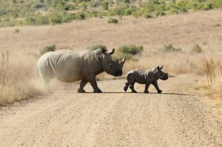 zvířata, nosorožec