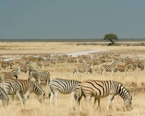 zvířata, zebra