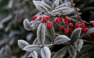 природа, зима, гілка, листя, іній, ягоди