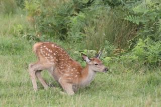 zvířata, jelen