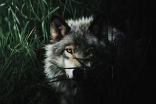 vlk, art