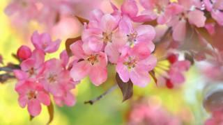 розовый, цветы, вишня, боке, веточка, весна