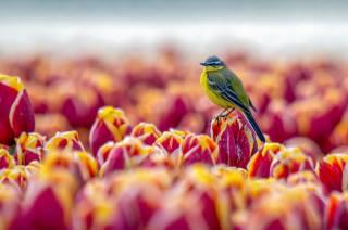 природа, весна, цветы, тюльпаны, птица, Синица, птицы мира