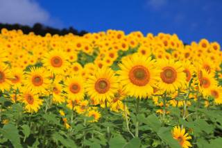 photo, sunflowers, beautiful