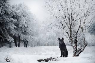 German shepherd, winter, snow