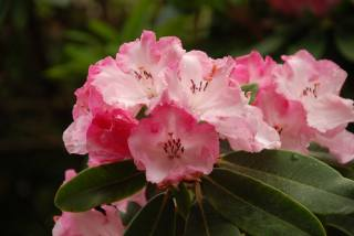 rhododendron, closeup, pink