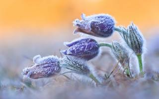 photo, flowers, dream grass, frost, spring