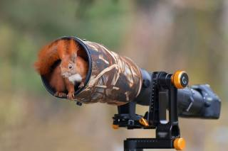 Squirrel, red, the camera
