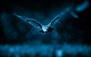 night, owl, flight
