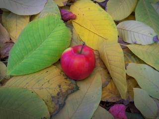 Apple, leaves, November